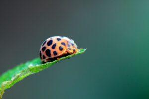 Epilachna beetle