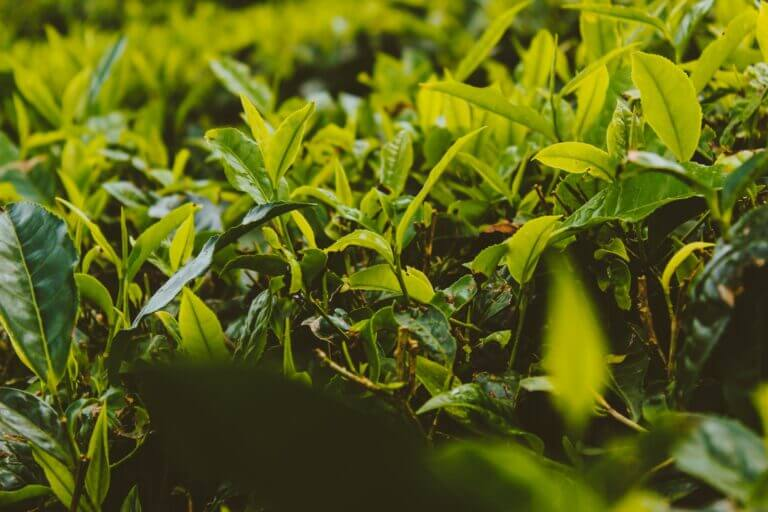 Pest and diseases in a Tea Plantation