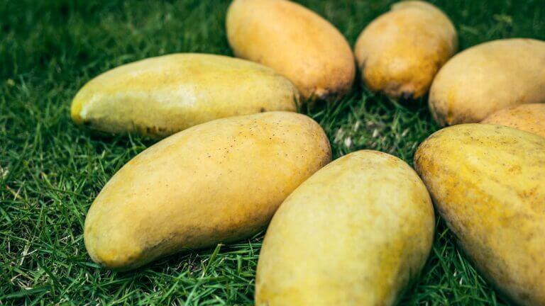 PEST AND DISEASES OF MANGO