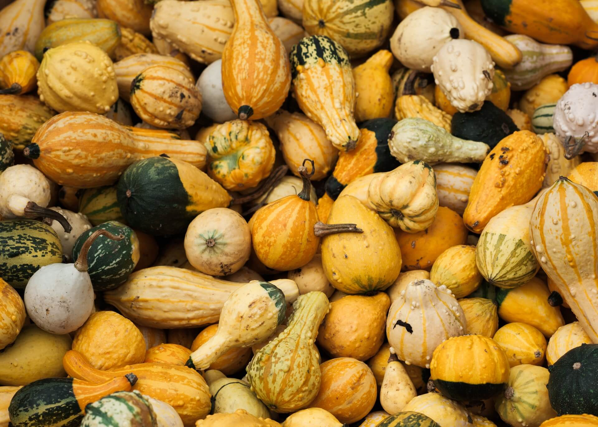 Pest and Diseases Of Family Cucurbits