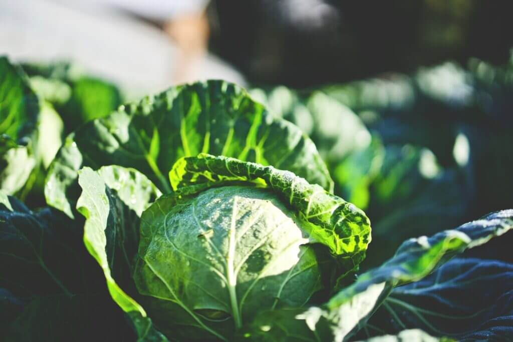 Pests and Diseases of Cabbage