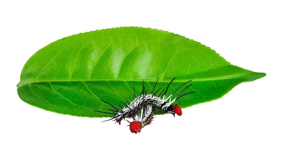 Pests in Tea Plantation