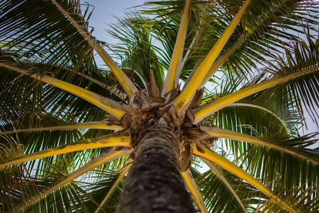 Pest and Diseases Of Coconut