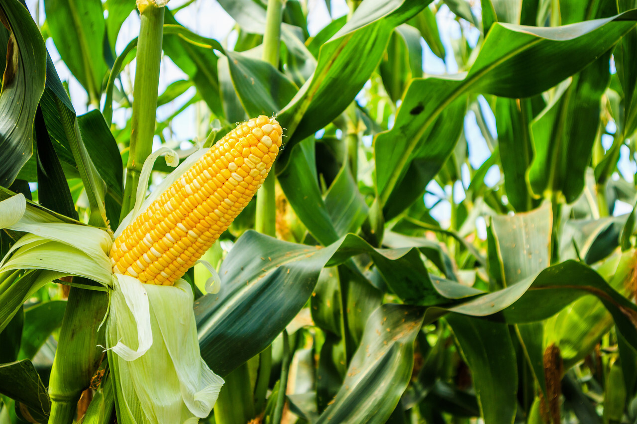 fungal diseases of Maize