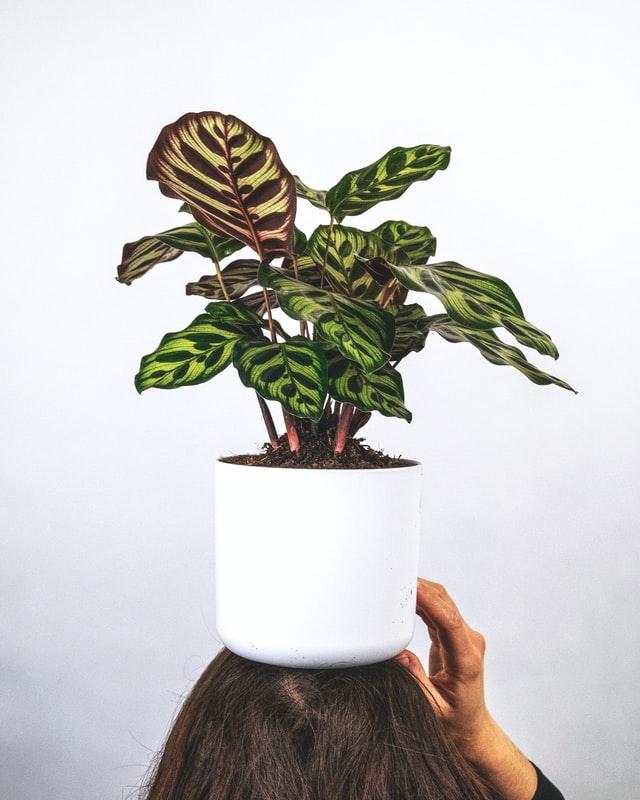 Calathea - Peacock plant